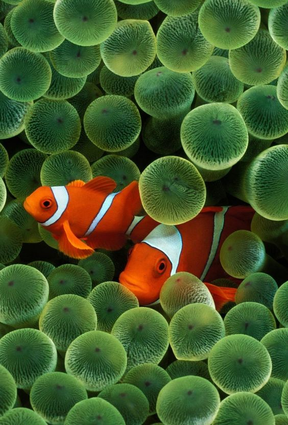 original iPhone wallpaper clownfish