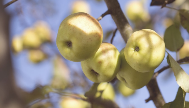 Jony Ive Donates $130,000 for School Orchards in United Kingdom
